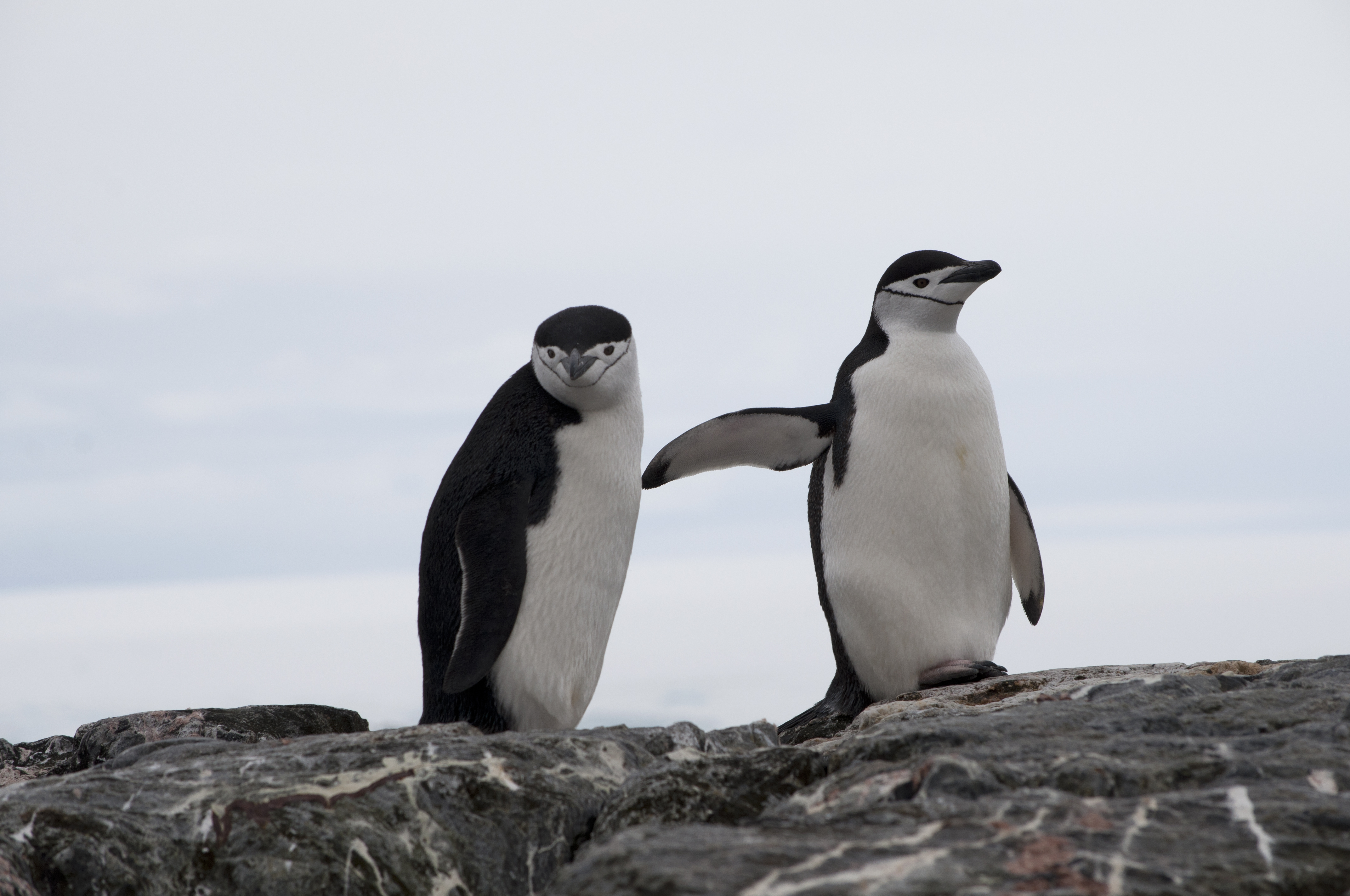 Chinstrap penguins on a rock in Antarctica.