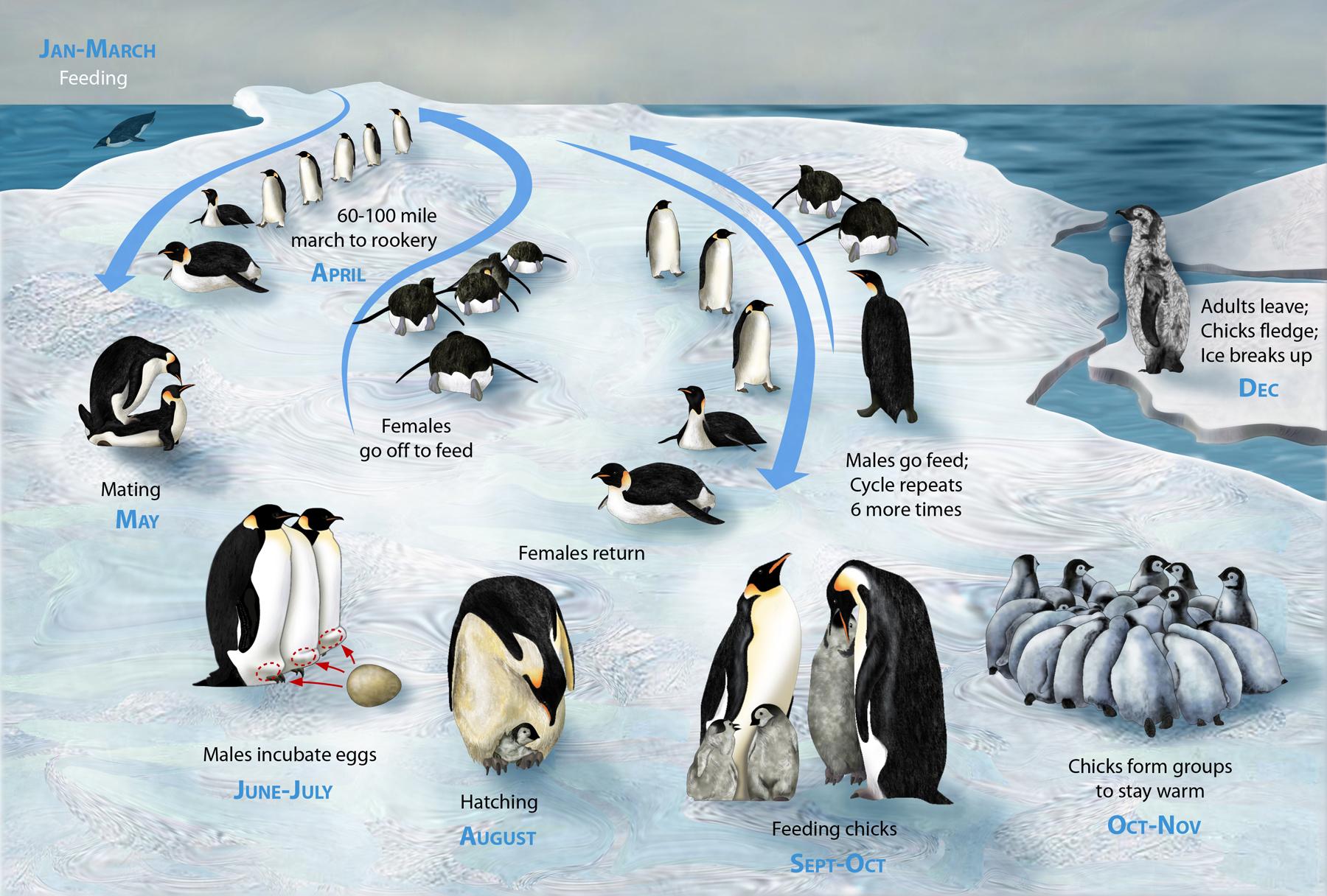 Penguinology  Emperor Penguin Biology